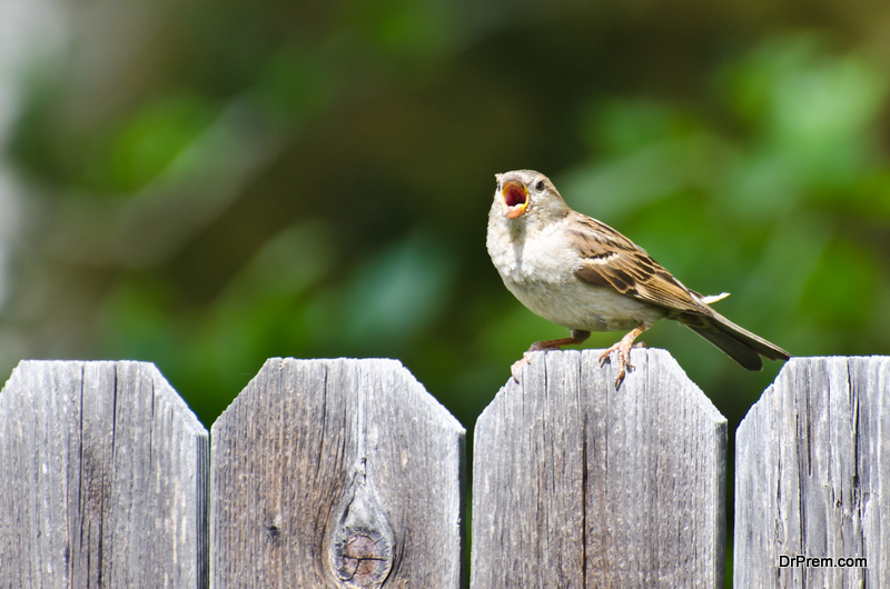 decline-in-house-sparrow-population