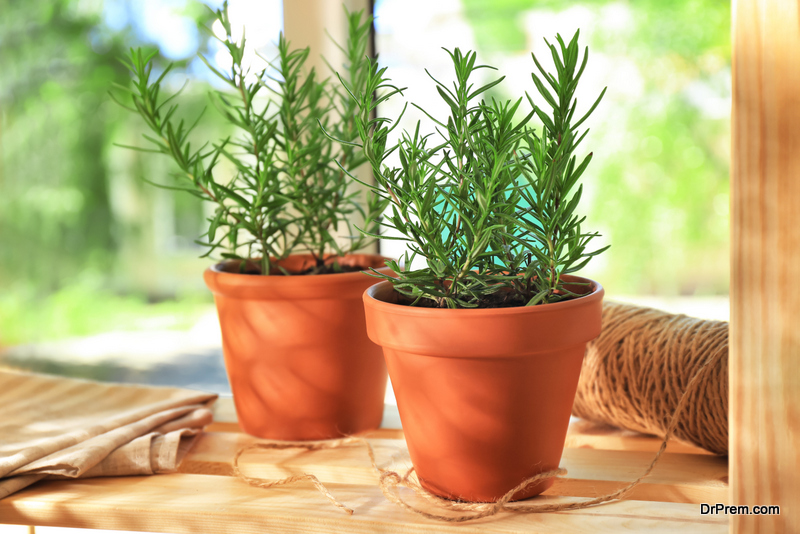 Pots with rosemary on table
