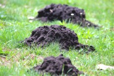 damage from moles and deer