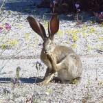 Desert hare primping