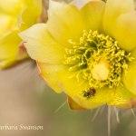 Beetle in cholla