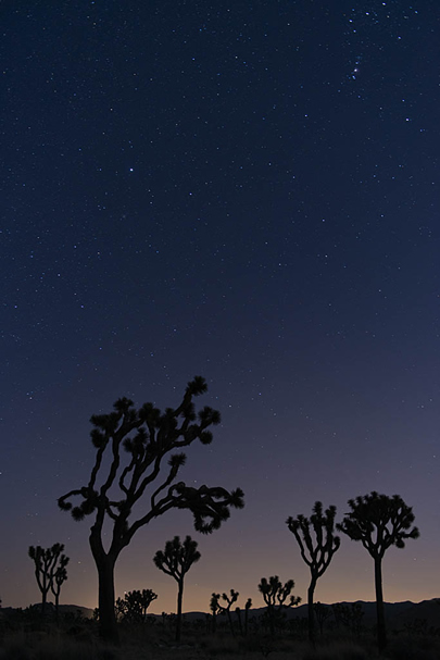 Joshua Tree as twilight ends