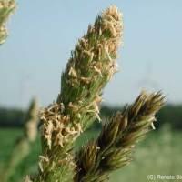 Saatgut für Steppentiere kommt aus Lauenau!