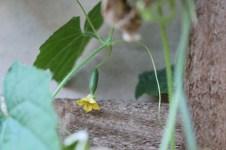 Cucamelon growing