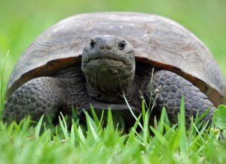 Florida Gopher Tortoise