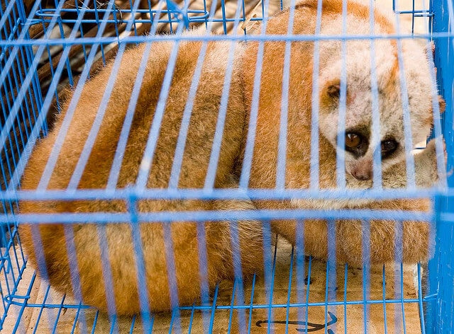 Slow loris - in illegal wildlife trade