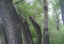 drunken trees