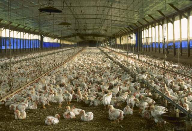 Cage-free chicken house in Florida