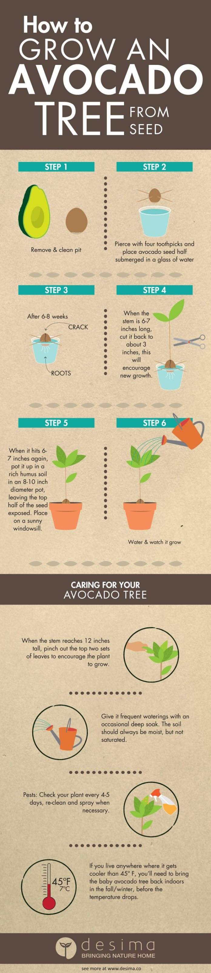 How_to_Grow_an_Avocado_Tree_From_Seed