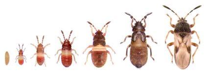 chinchbugs