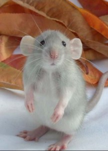cute version of research lab rat