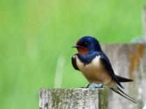 A beautiful swallow