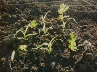 A broad bean sneaks into the planting plan