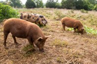 Pigs doing what they are meant to do—root! Image courtesy of ourterrain.org.