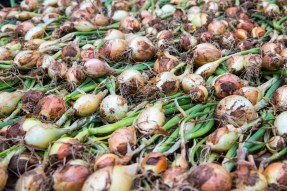 Onions drying in the hoop house. Image courtesy of ourterrain.org.
