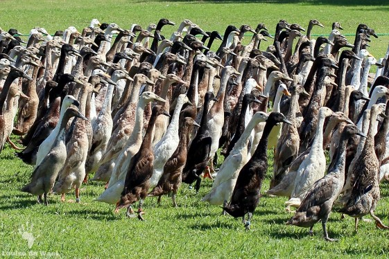 Ducks ducks and more ducks Vergenoegd
