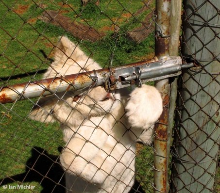 Lion cub petting - Blood Lions
