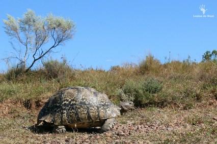 Leopard tortoise Gamkaberg CapeNature Reserve