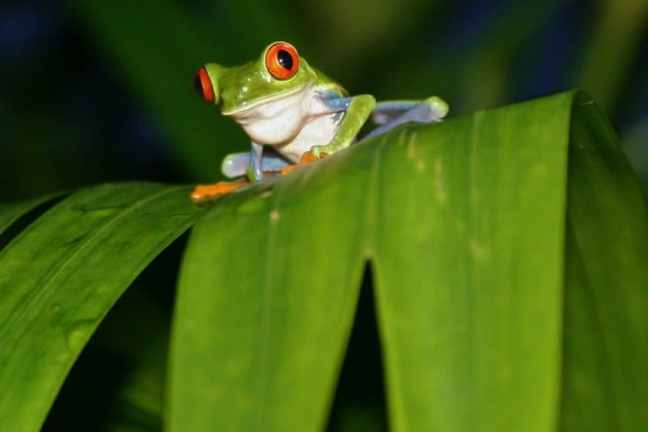 Red-Eyed Tree Frog in Tortuguero, Costa Rica