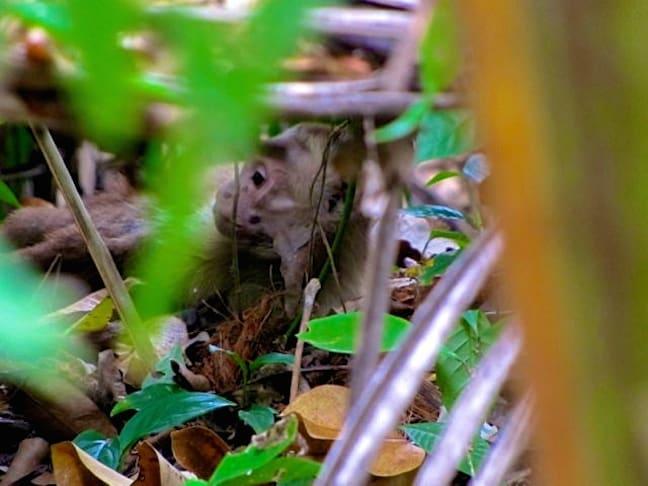 Capuchin_Tayrona_National_Park_Colombia