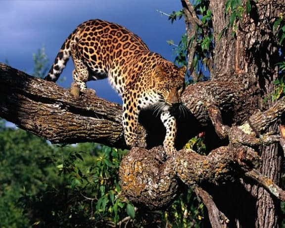 Amur Leopard in The Wild