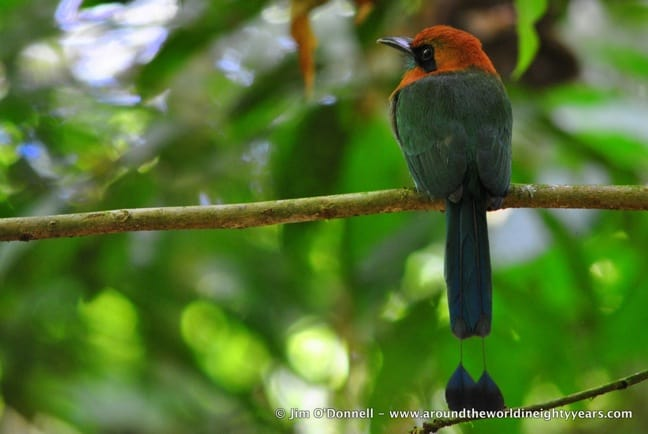 Broad-billed Motmot at La Selva Biological Research Station