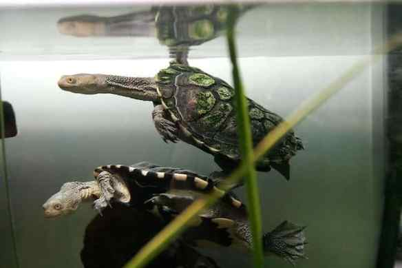 Weird Animals, Eastern Long-Necked Turtle