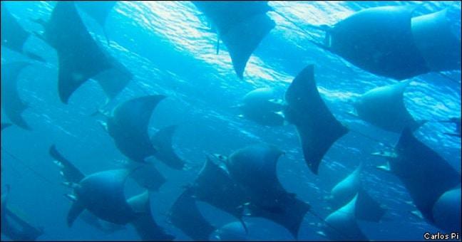 Galapagos Rays via GalapagosPark.org via Carols Pi