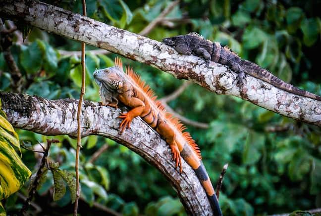 Green_Iguana_Conservation_Project_Belize