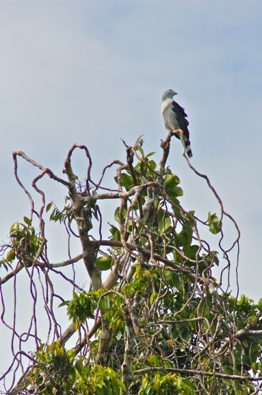 Grey headed Kite