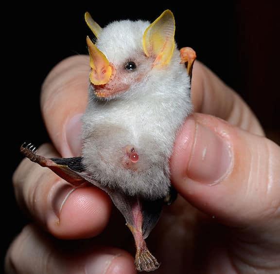 Weird Animals, Honduran White Bat