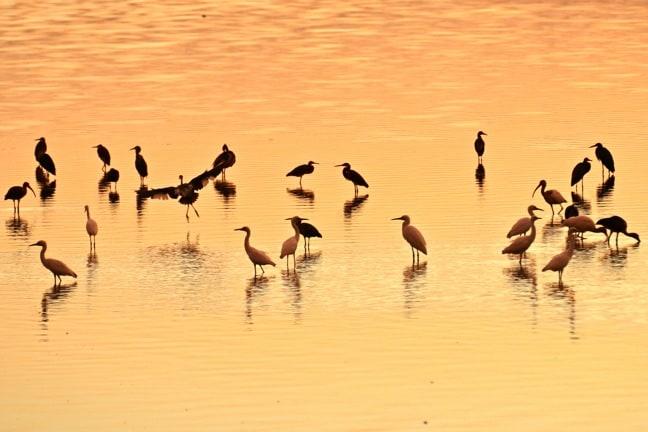Birds at Sunset in J.N. Ding Darling National Wildlife Refuge