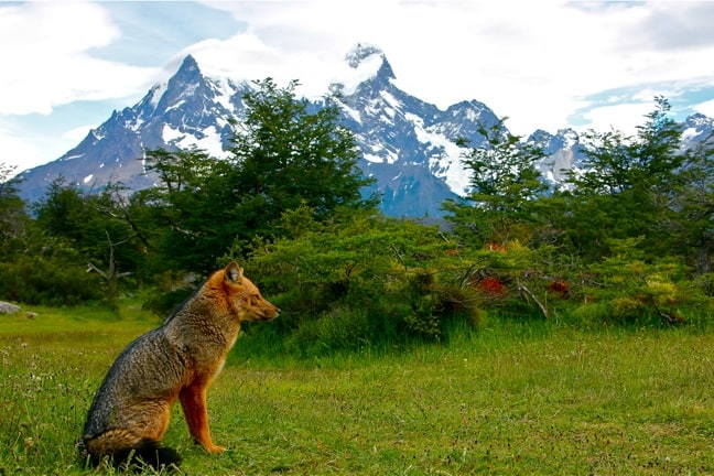 Red Fox in Torres del Paine National Park, Chilean Patagonia
