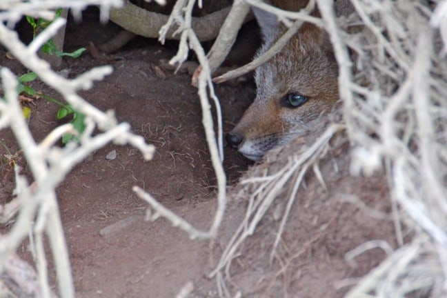 Baby Grey Fox  in Torres del Paine National Park, Chile
