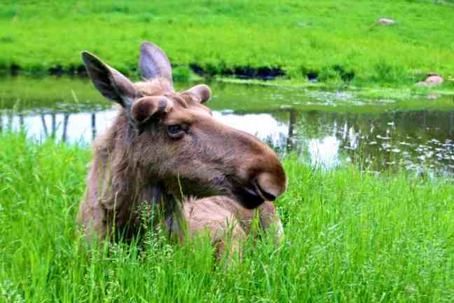 Oskar, the coolest moose in Sweden, at Wragarden Farm in Falkoping