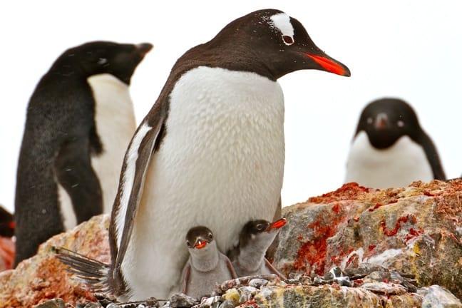 Baby Gentoo Penguin Chicks in Antarctica