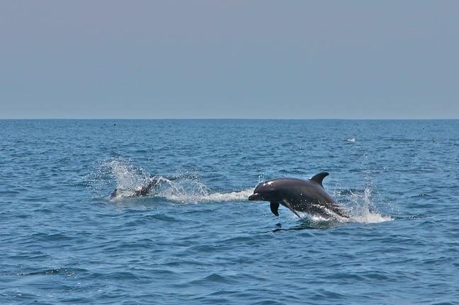 Dolphin Pod in the Gulf of Chiriquí, Panama
