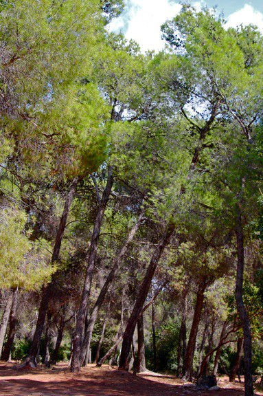 Rare Middle Eastern Pine Forest in Dibeen Forest Preserve, Jordan