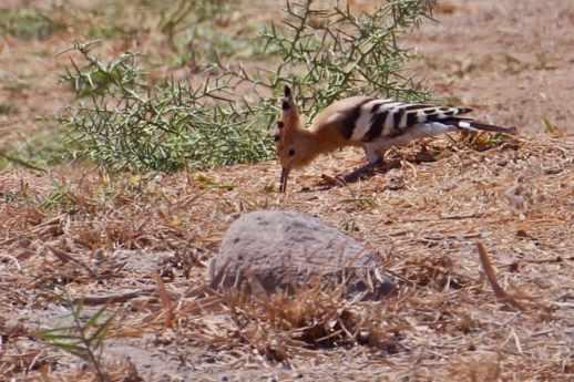 Hoopoe in Azraq Wetland Reserve, Jordan