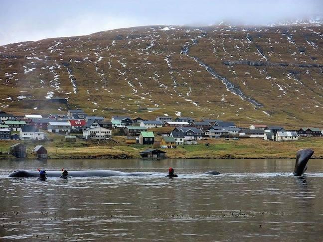 Faroe_Islands_Whale_rescue