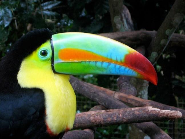 Keel-billed Toucan at Macaw_mountain, Honduras