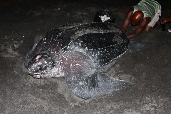 Nesting Leatherback Turtle at Rosalie Bay Resort, Dominica