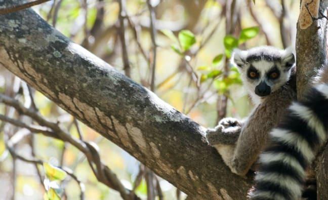 Madagascar King Julien Ringtail Resting