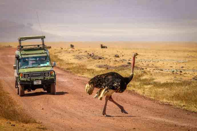 Ngorongoro Conservation Area- Ostrich