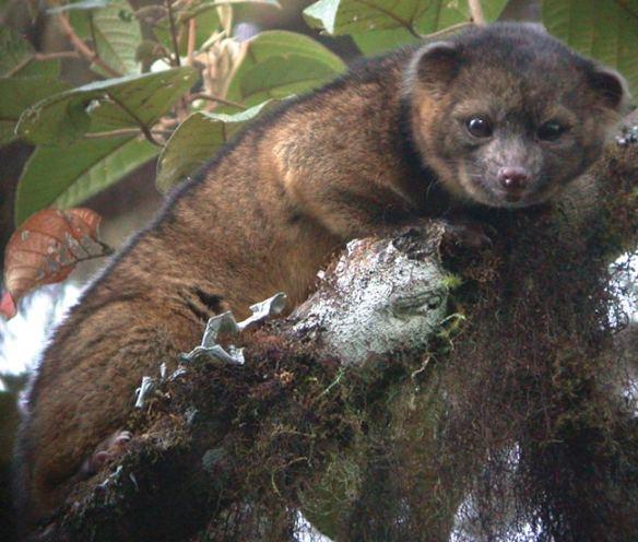 Weird Animals, Olinguito