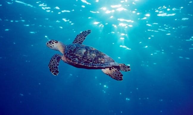 Sea Turtle Swims Near Puerto Morelos Reef, Mexico