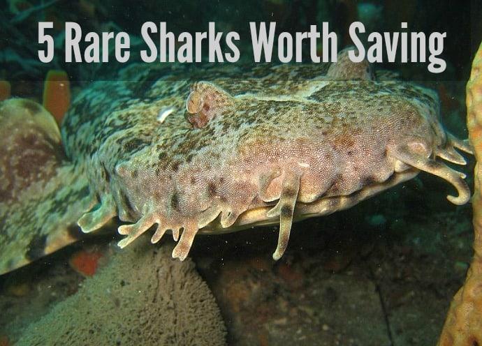 Rare Sharks Worth Saving