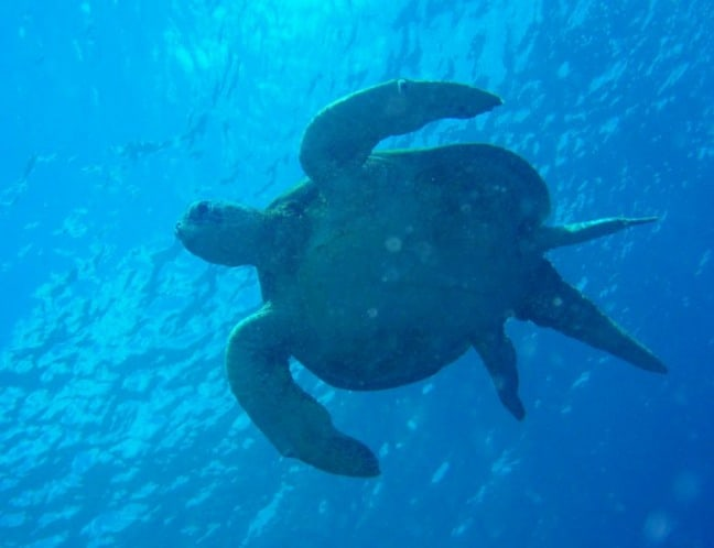 Sea Turtle in Sipadan, by Robert Biuk Aghai via- CC