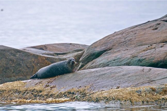 Seal Colony in Kosterhavet National Park, Sweden