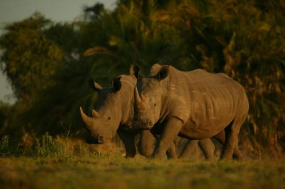 Rhinos Without Borders project, photo by Beverly Joubert